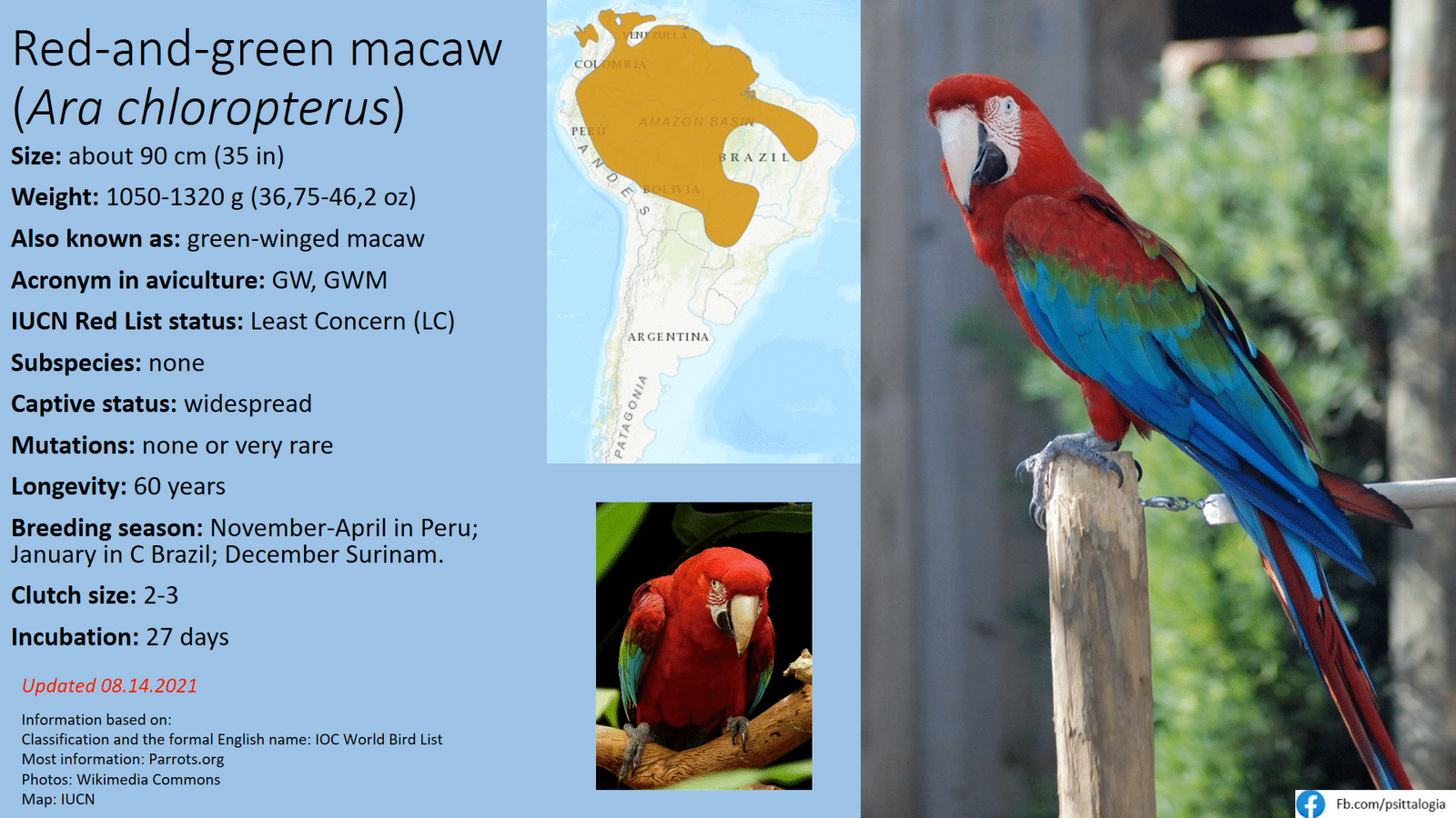red and green macaw.png
